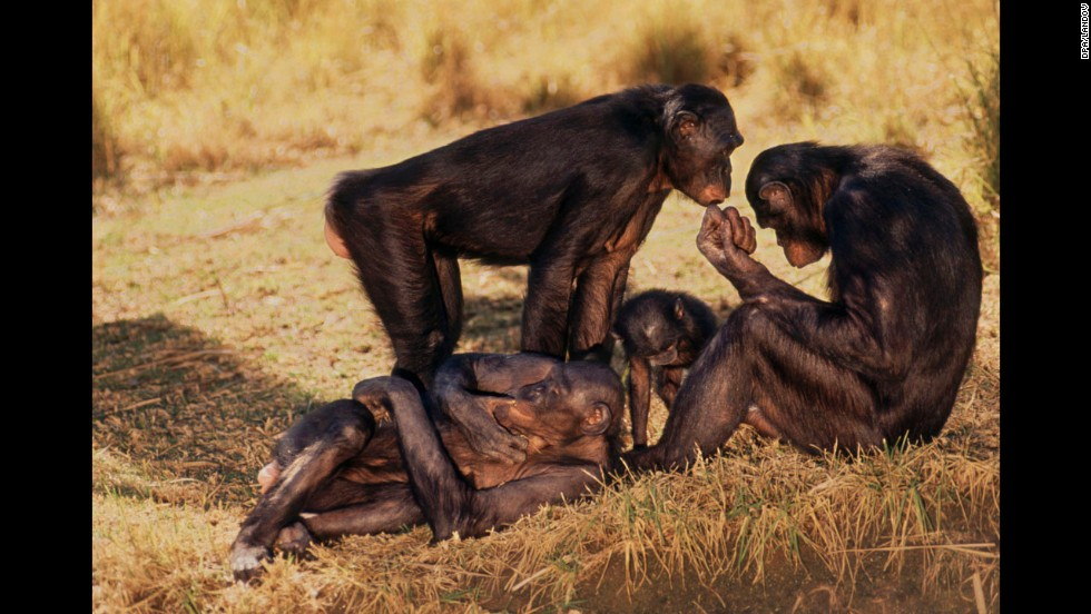Bonobo monkeys do not conform to a mating system and regularly engage in frequent sex with multiple partners.