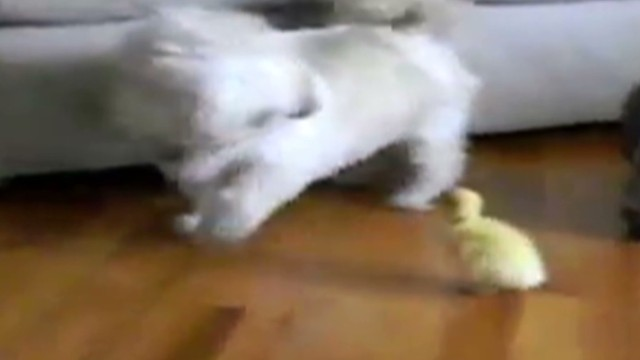 orig jtb distraction dog vs baby duck_00003424.jpg