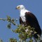 namibia wildlife gallery fish eagle