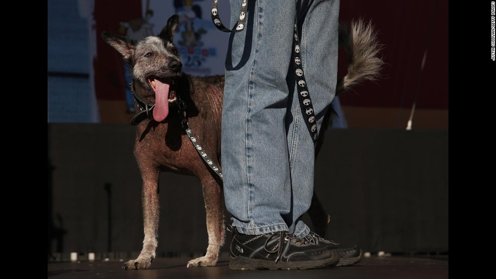 Reggie, a Peruvian mix, walks on stage.