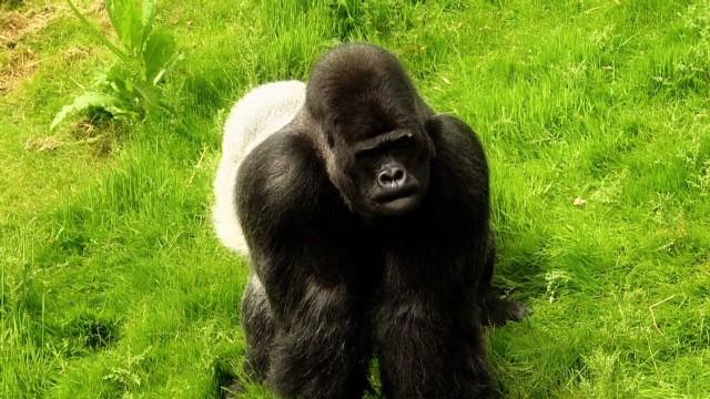 natpkg uk gorillas released_00003924.jpg