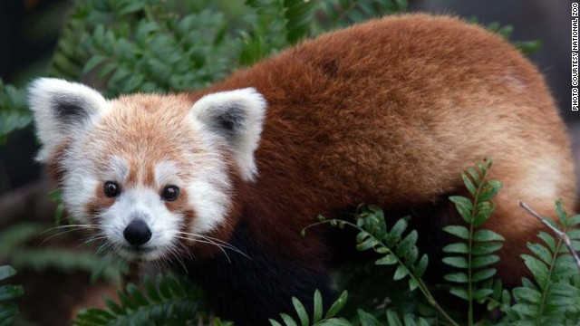 The National Zoo posted this photo of its missing red panda, Rusty, to Twitter and Facebook on Monday.