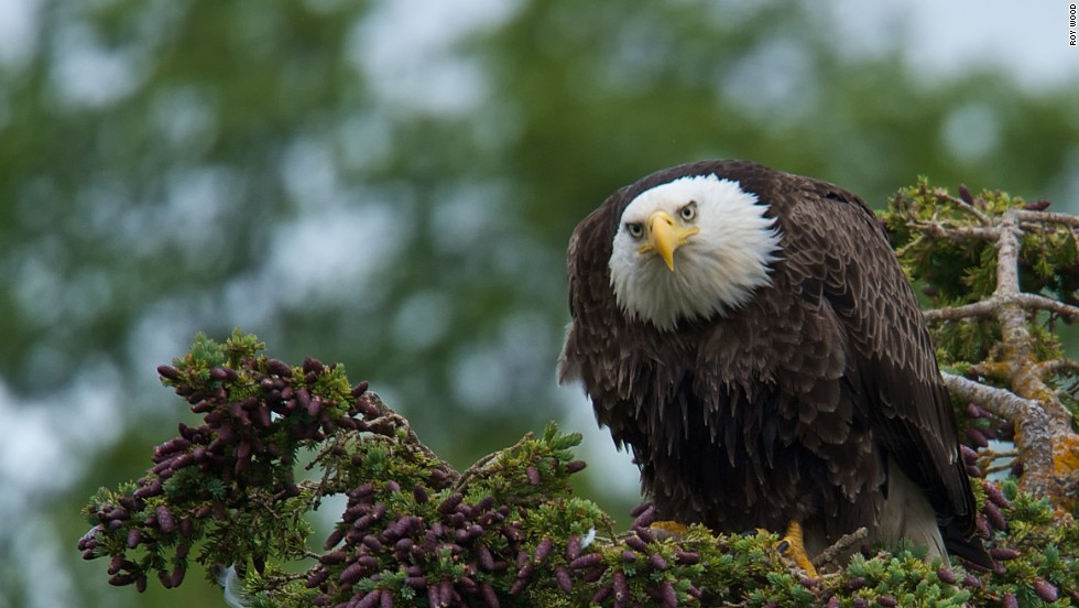 A bald eagle observes the salmon fishing action at Brooks Falls, patiently waiting for scraps.
