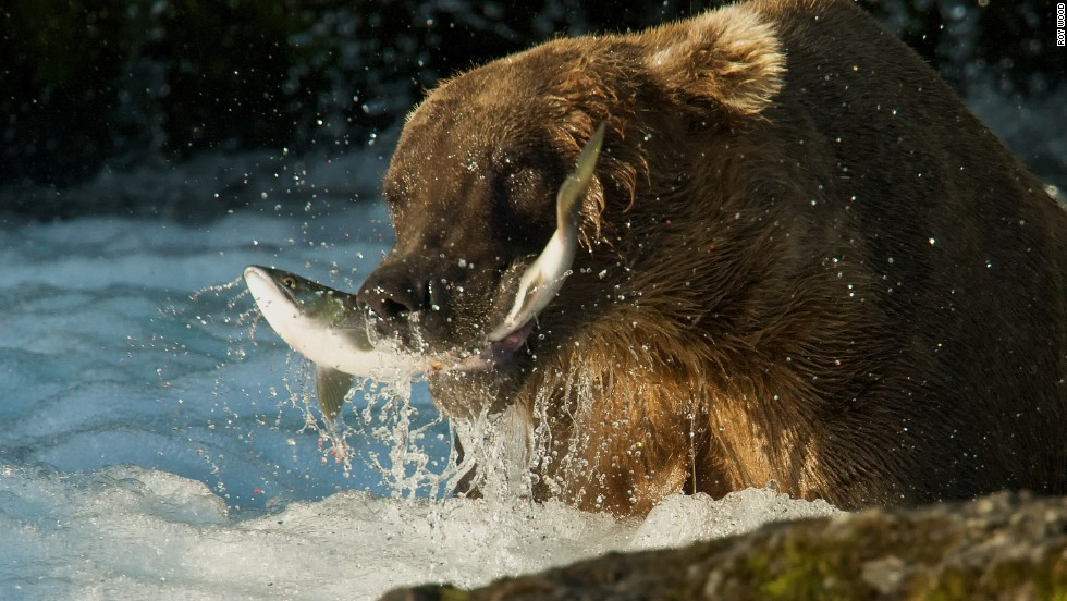 Brooks Falls is a favorite salmon fishing hole for brown bears during the summer.