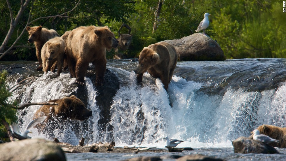 The salmon run draws anywhere from 70 to 100 brown bears to a one-mile area of Brooks Camp, says Wood. Can you find the wolf in the background?