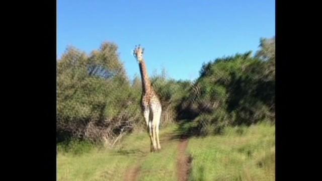TSR pkg Moos giraffe chase_00002020.jpg