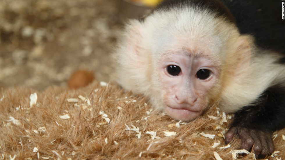 Mally is 27 weeks old and weighs 1.3 kilograms. He was taken to a Munich animal shelter after he was confiscated at the end of March as Bieber arrived in Germany on tour.