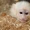 Bieber monkey 4