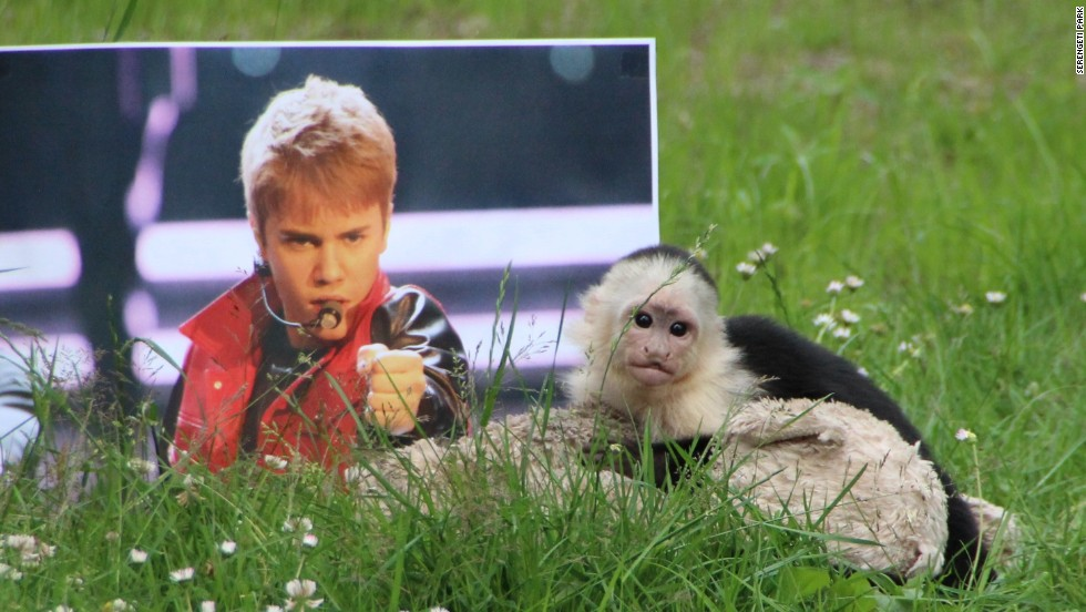 "Justin Bieber's capuchin monkey -- confiscated by German officials -- is out of quarantine and about to join a new ""family"" at Serengeti Park in Hodenhagen, near Hanover in northern Germany."