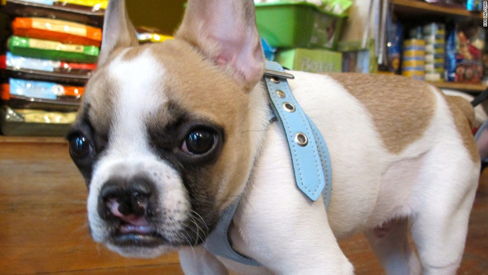 """Lentil visits a pet store owned by his owner, Lindsay Condefer. Fans call Lentil """"the Bean"""" and refer to themselves as """"Beanstalkers."""""""