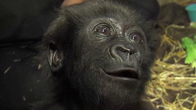 tsr pkg Moos baby ape gets mom_00000607.jpg