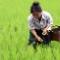 vietnam rice farmer
