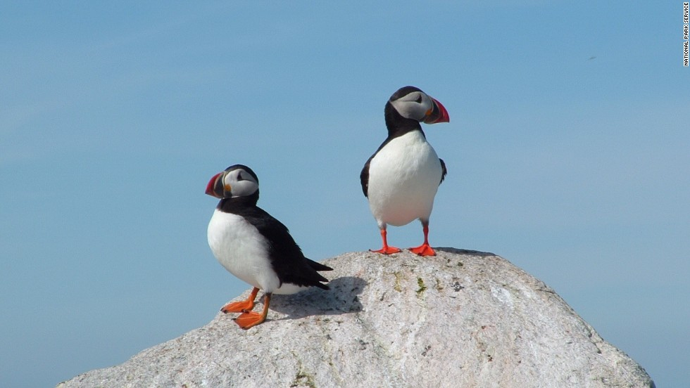 Atlantic Puffins are one of 338 bird species in Acadia National Park.