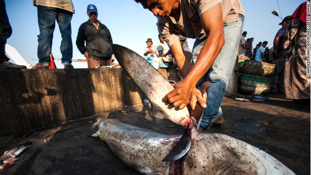 An Indonesian fisherman cuts off a shark's fin on March 7. About 100 million sharks are killed each year, mostly for their fins.