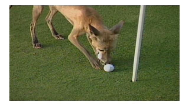 vo.fox.steals.golfballs_cms2.jpg
