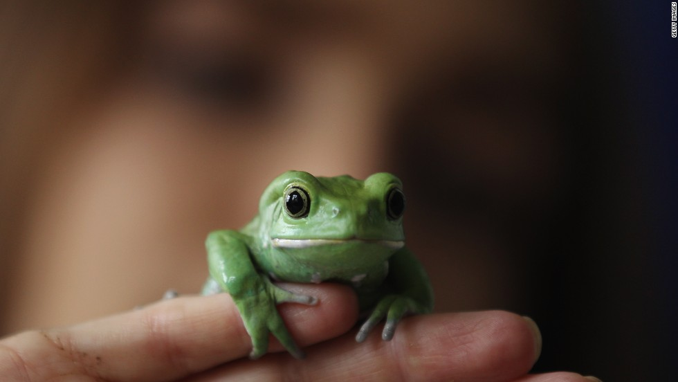 The Waxy Monkey frog's venom could control blood vessel growth, known as angiogenesis, which may be useful in starving cancer cells.