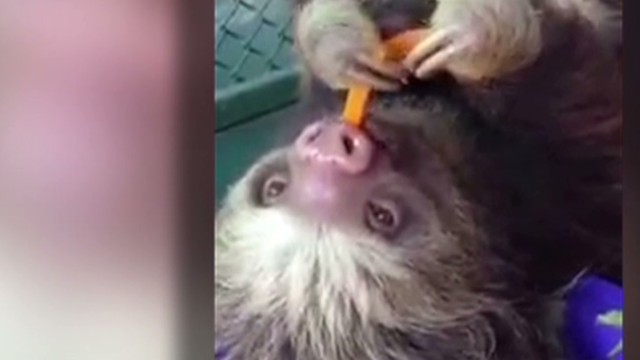 orig.distraction.sloth.eating.carrots_00004018.jpg