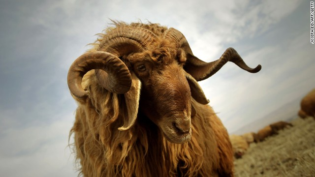 A ram in the Becaa Valley: despite regional strife, this Lebanese enclave retains a certain calm.