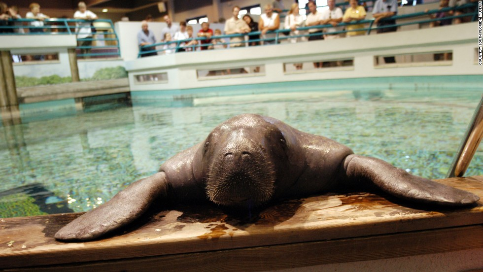"""Although most Florida manatees live about eight years, Snooty the manatee just turned 65. The <a href=""""http://www.southfloridamuseum.org"""" target=""""_blank"""">South Florida Museum</a> in Bradenton feted its elderly resident on July 20 with a birthday bash and arts and wildlife festival. Manatee County's official mascot lives in a 60,000-gallon freshwater pool at the museum's Parker Manatee Aquarium."""