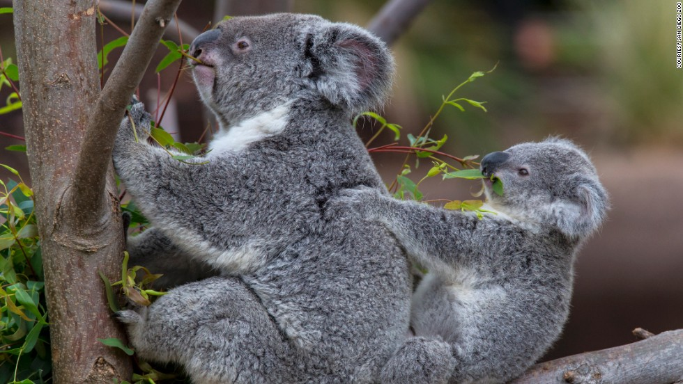 "A leader in the koala conservation movement, the <a href=""http://www.sandiegozoo.org"" target=""_blank"">San Diego Zoo</a> has the largest breeding colony of Queensland koalas outside of Australia. The California zoo opened its latest ""Australian Outback"" koala exhibit in May."