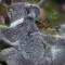Animals san diego zoo koala1