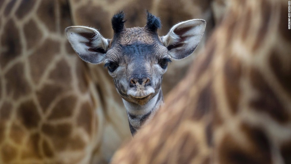 "Penelope the giraffe was born at the San Diego Zoo in May 2013, and she was held in a restricted ""playpen"" until joining the herd about one week later. About 6 feet tall at birth, Penelope is a Masai giraffe. The species is native to Africa and is threatened in some areas."