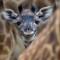 Animals san diego zoo giraffe