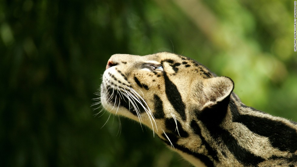 """A leader in the clouded leopard conservation program, the <a href=""""http://www.nashvillezoo.org/conservation/clouded-leopards"""" target=""""_blank"""">Nashville Zoo </a>in Tennessee has already had five clouded leopard cub births so far this year.  Since 2009, 20 cubs have been born at the zoo. Because males can sometimes attack and kill potential female partners, the zoo hand-raises cubs and introduces them to mates at a young age.They are native to Southeast Asia and China."""