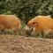 Animals Nashville red river hogs