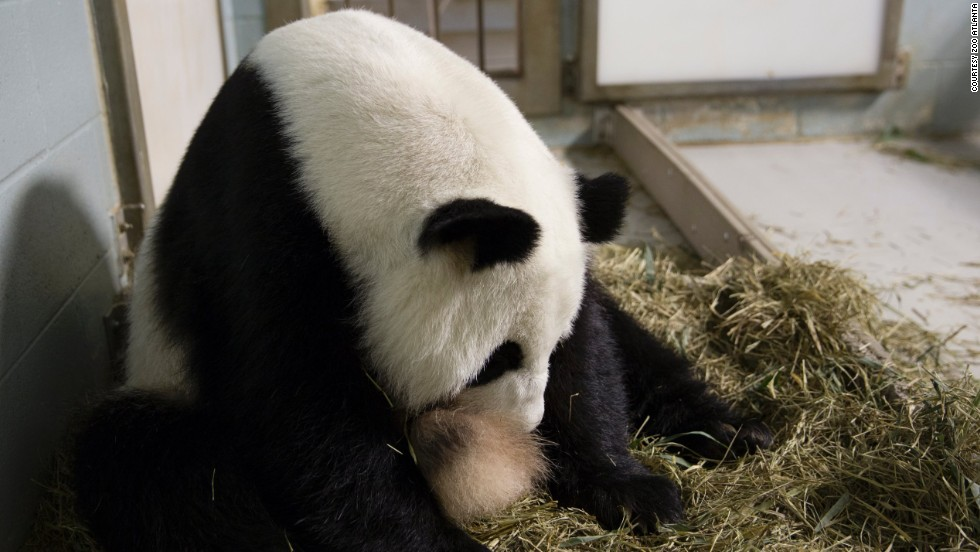 Giant panda Lun Lun gave birth to twins at Zoo Atlanta in July 2013. She was caring for one of her cubs but not letting the photographer see it.