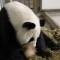 animals zoo atlanta panda mom lun lun