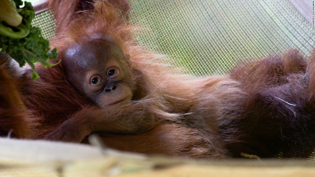 Pongo, a Sumatran orangutan, was born at Zoo Altanta via cesarean section in January 2013. First-time mom Blaze initially needed round-the-clock help from zoo staff and volunteer nurses from the local children's hospital to learn to care for Pongo.