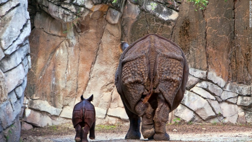"""Asha, a greater one-horned rhino calf, was born on August 16, 2012, and is still with her mom in the <a href=""""http://www.fortworthzoo.org"""" target=""""_blank"""">Fort Worth Zoo's </a>Asian Falls exhibit. The birth of this endangered species was the first at the Texas zoo."""