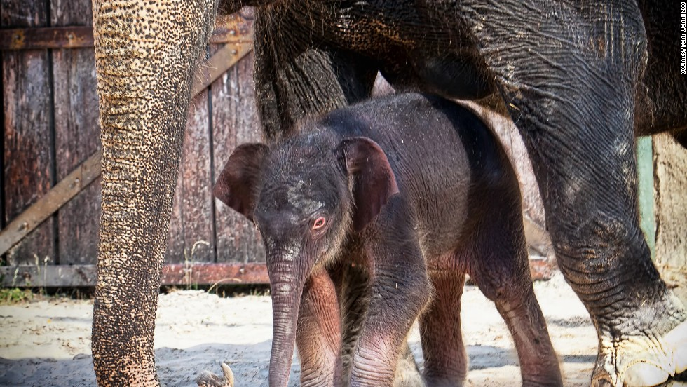 """This Asian elephant calf was born at the Fort Worth Zoo on July 7, weighing in at 330 pounds and measuring 38 inches tall. Rasha, a 40-year-old Asian elephant, gave birth to her second calf after a 22-month pregnancy. Mother and daughter can occasionally be seen at the zoo's Asian Falls exhibit. Voting on the calf's name is taking place until July 25 on <a href=""""https://www.facebook.com/FortWorthZoo"""" target=""""_blank"""">the zoo's Facebook page</a>."""