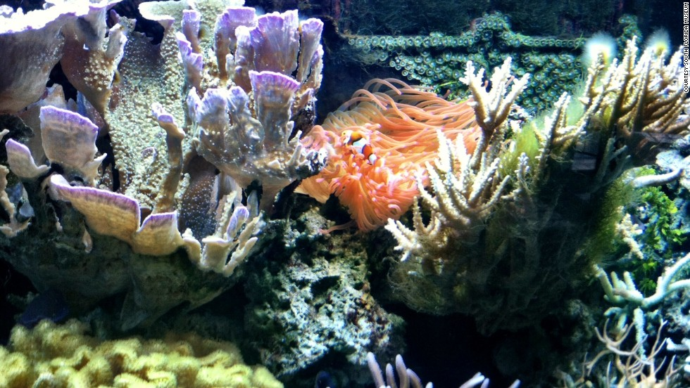 Although Snooty is the star of the South Florida Museum's Parker Manatee Aquarium, the site also features a live coral tank, shown here with a clownfish; an invasive species tank; and a touch tank with sea stars, sea urchins and hermit crabs.