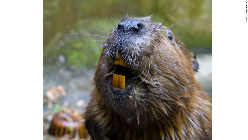"""The <a href=""""http://www.oregonzoo.org"""" target=""""_blank"""">Oregon Zoo </a>wouldn't be complete without the beaver, the state animal and the largest rodent in North America. Admire them and their dens at the zoo's Cascade Stream and Pond habitat."""