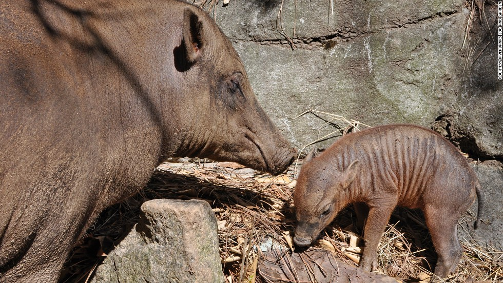 "This baby babirusa, born in March 2013 to first-time parents Wilma and Bertello, was the first of its species to be born at the Riverbanks Zoo and Garden in Columbia, South Carolina. ""Babirusa"" is Malaysian for ""deer-pig."" These swine run swiftly like deer and are known to be good swimmers."