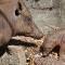 animals riverbanks sc babirusa