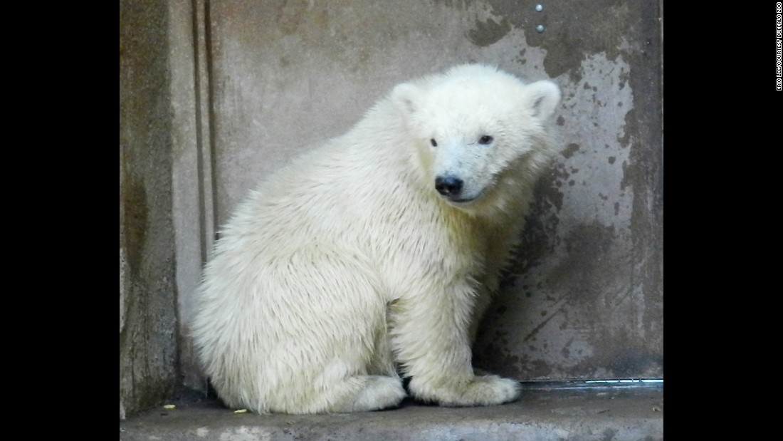 "After an adult female polar bear was shot in Alaska in March 2013, her orphaned cub was rescued by the U.S. Fish and Wildlife Service and placed in the temporary care of the Alaska Zoo. In May 2013, the cub, Kali, was transported to the <a href=""http://www.buffalozoo.org"" target=""_blank"">Buffalo Zoo</a> in New York to keep company with Luna, a female cub already living there."