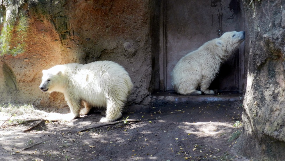 "Kali, on the right in Buffalo, later moved to the <a href=""http://www.stlzoo.org/animals/abouttheanimals/mammals/carnivores/polar-bear/kali/"" target=""_blank"">St. Louis Zoo.</a>"