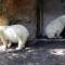 animals buffalo zoo polar bear luna and kali