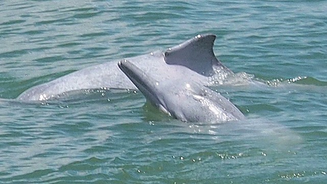 Saving dolphins from danger