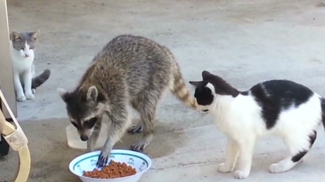 newday vo racoon robs cats _00001229.jpg