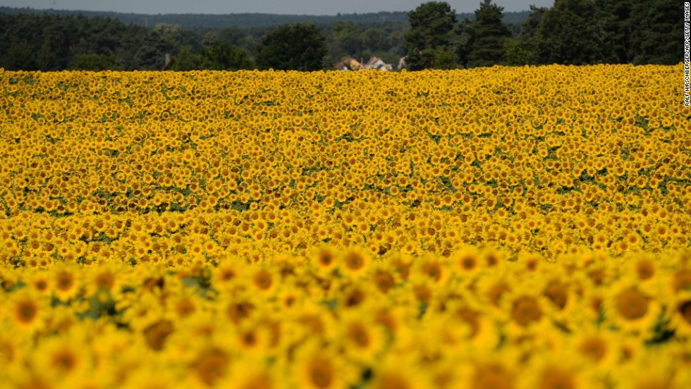 Sunflowers blossom on a field near Langerwisch, eastern Germany, on July 22.
