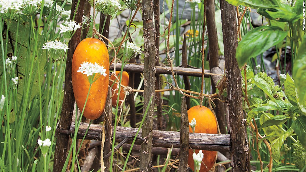 """To save space, Steiner grows pickling cucumber vertically, on a wooden tuteur (""""The orange color means they've overripened, but they still taste every bit as good,"""" she says)."""