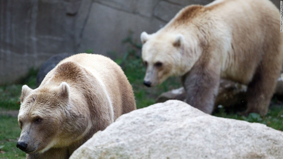 """""""Brice bears"""" named Taps and Tips enjoy their compound at the zoo in Osnabruck, Germany, on September 26, 2011. They are polar-brown bear hybrids."""