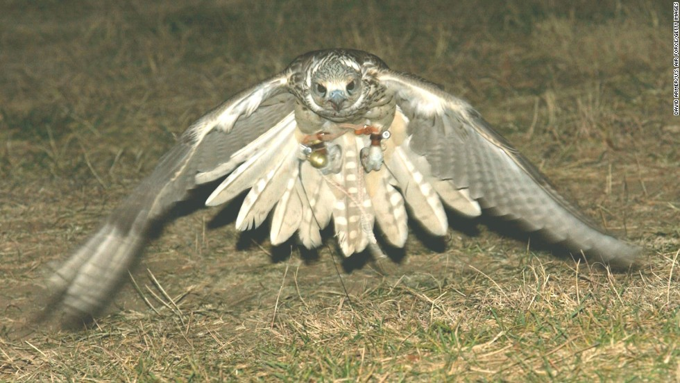 Yeti, a hybrid white gyr and saker falcon, makes a low-altitude pass during training at the U.S. Air Force Academy in Colorado on November 12, 2003. The falcon can exceed 200 miles per hour in a dive. Yeti is a member of the Air Force Academy's falconry program.