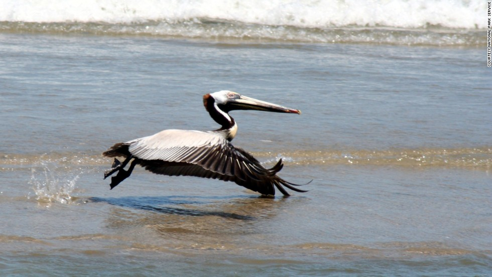 Brown pelicans like to fly circles over the ocean before dive-bombing into the water to catch fish.