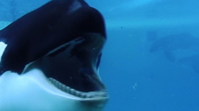 'Blackfish' looks at whales in captivity