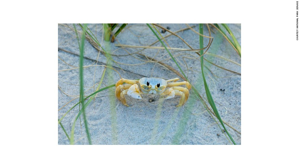 Ghost crabs are a common sight at Cape Hatteras National Seashore.